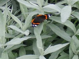 Red Admiral on grey leaves